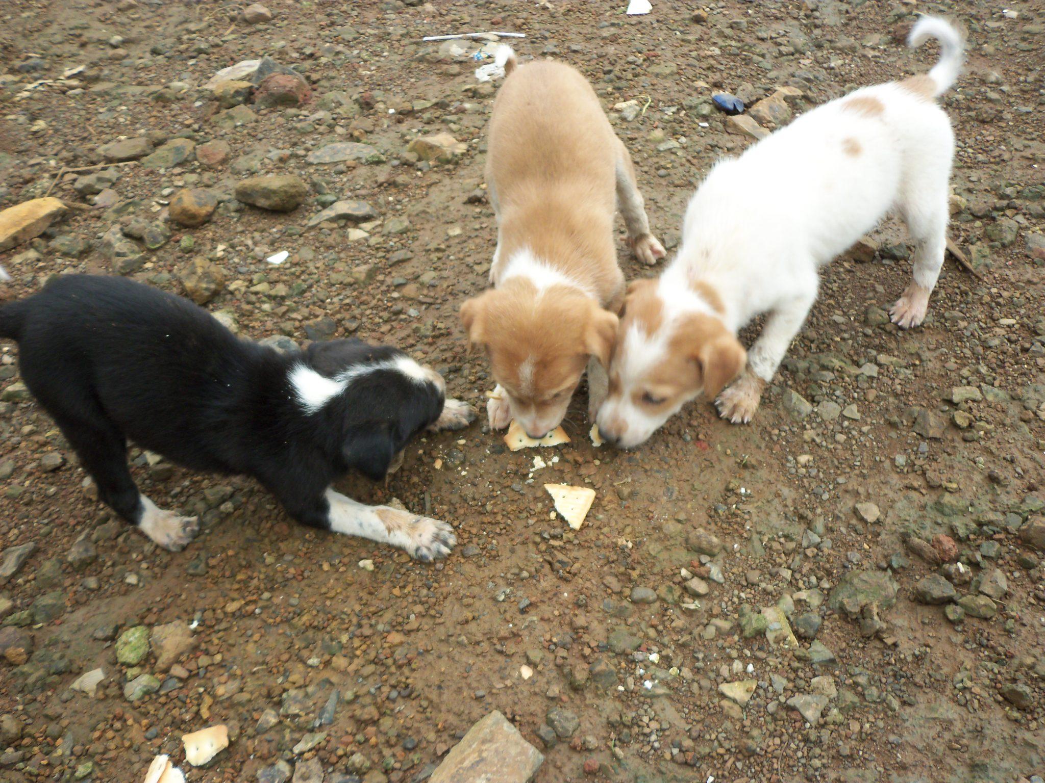 Feeding Biscuits to Puppies at Bhimashankar
